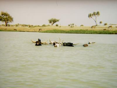vaches dans le fleuve 400x300 a.jpg